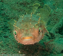 Puffers and filefishes